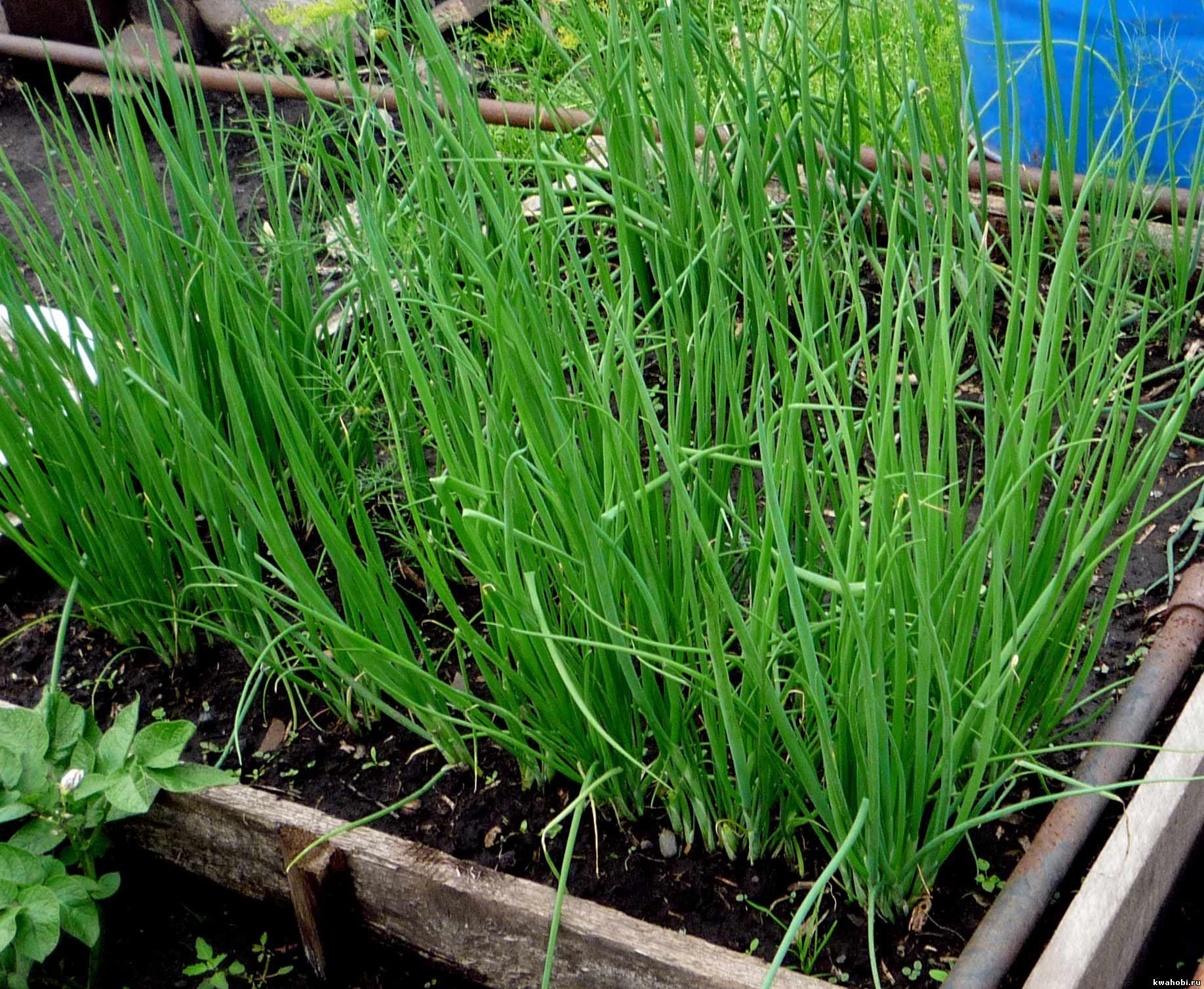 Выращивание лука слизуна в домашних условиях 64