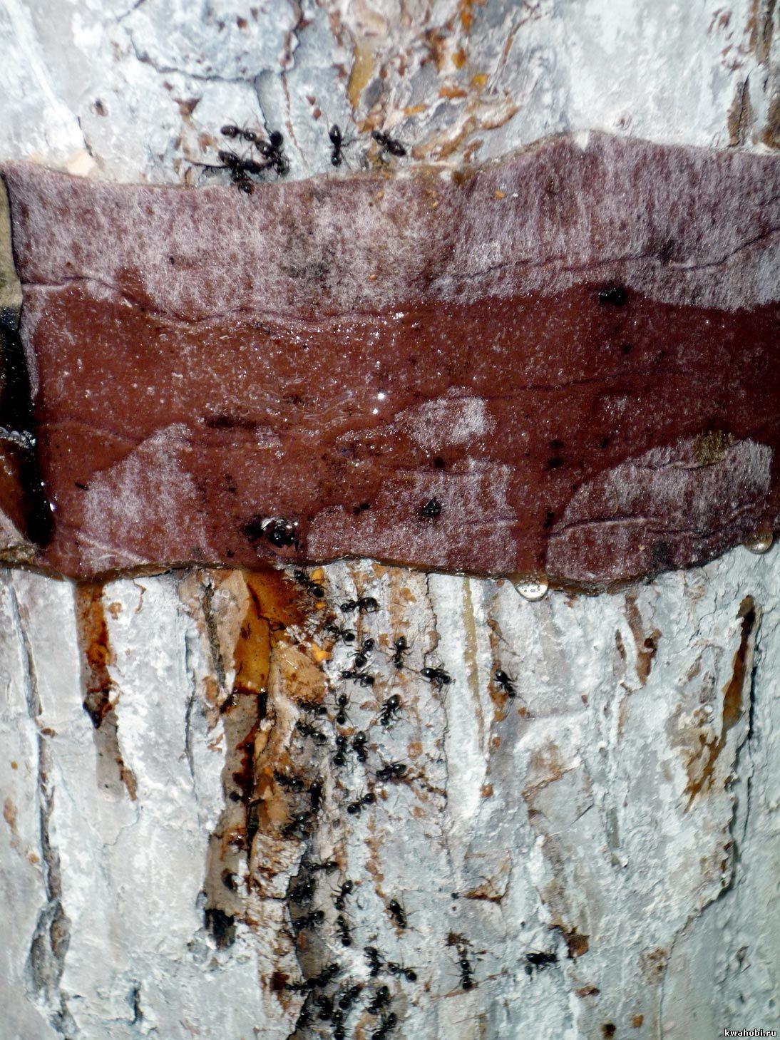 муравьи приклеиваются