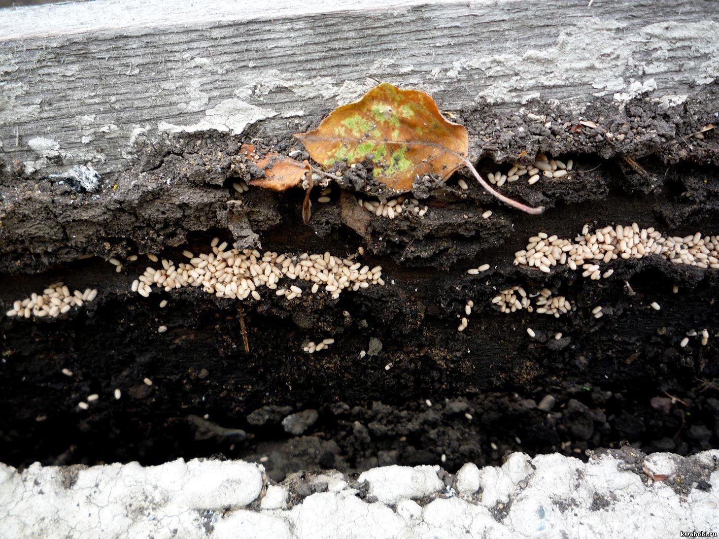 яйца муравьёв