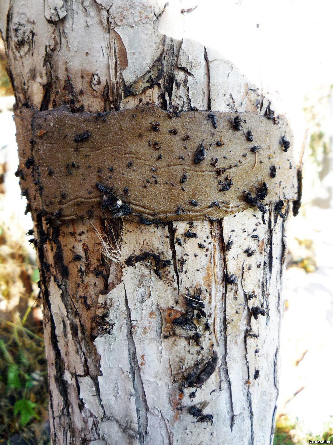 Борьба с муравьями.Клеевой пояс в октябре