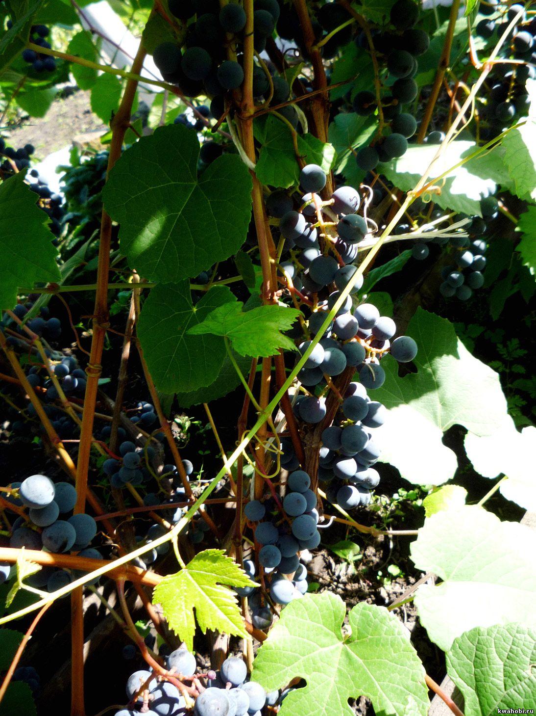 виноград в Красноярске