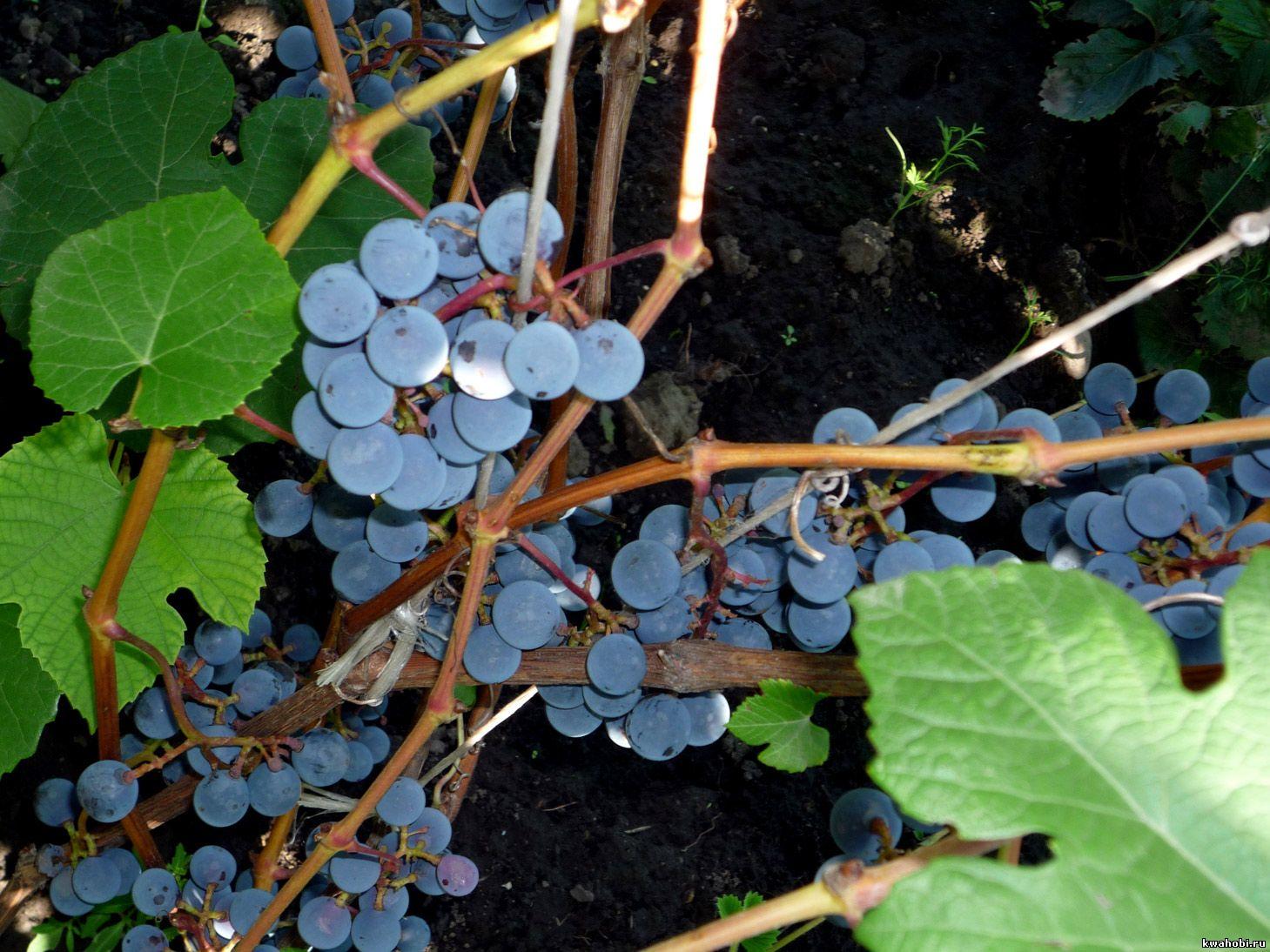 виноград Красноярск