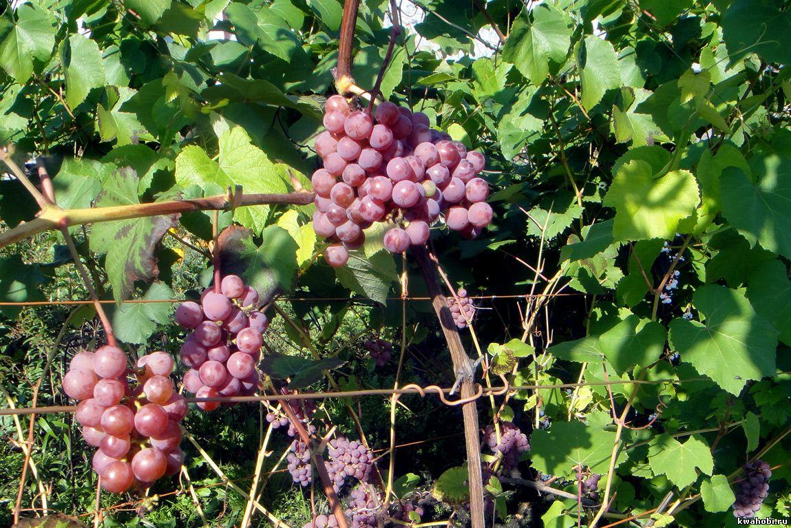 виноград Кемерово
