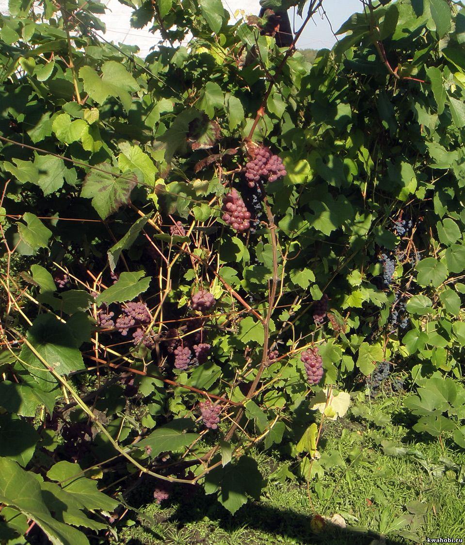 виноград в Сибири Кемерово