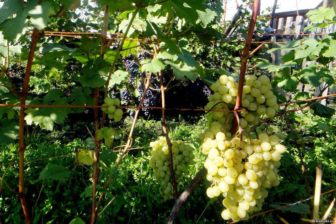 разведение винограда в Сибири