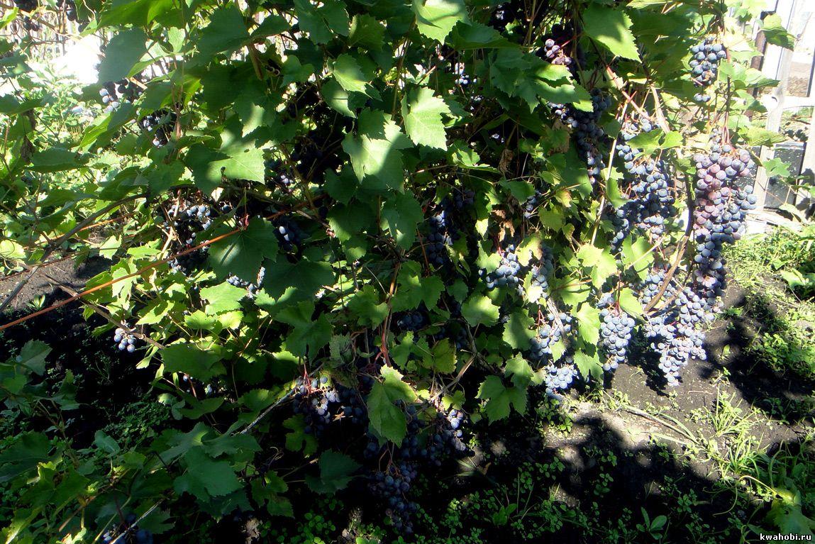 Кемерово, Красноярск виноград