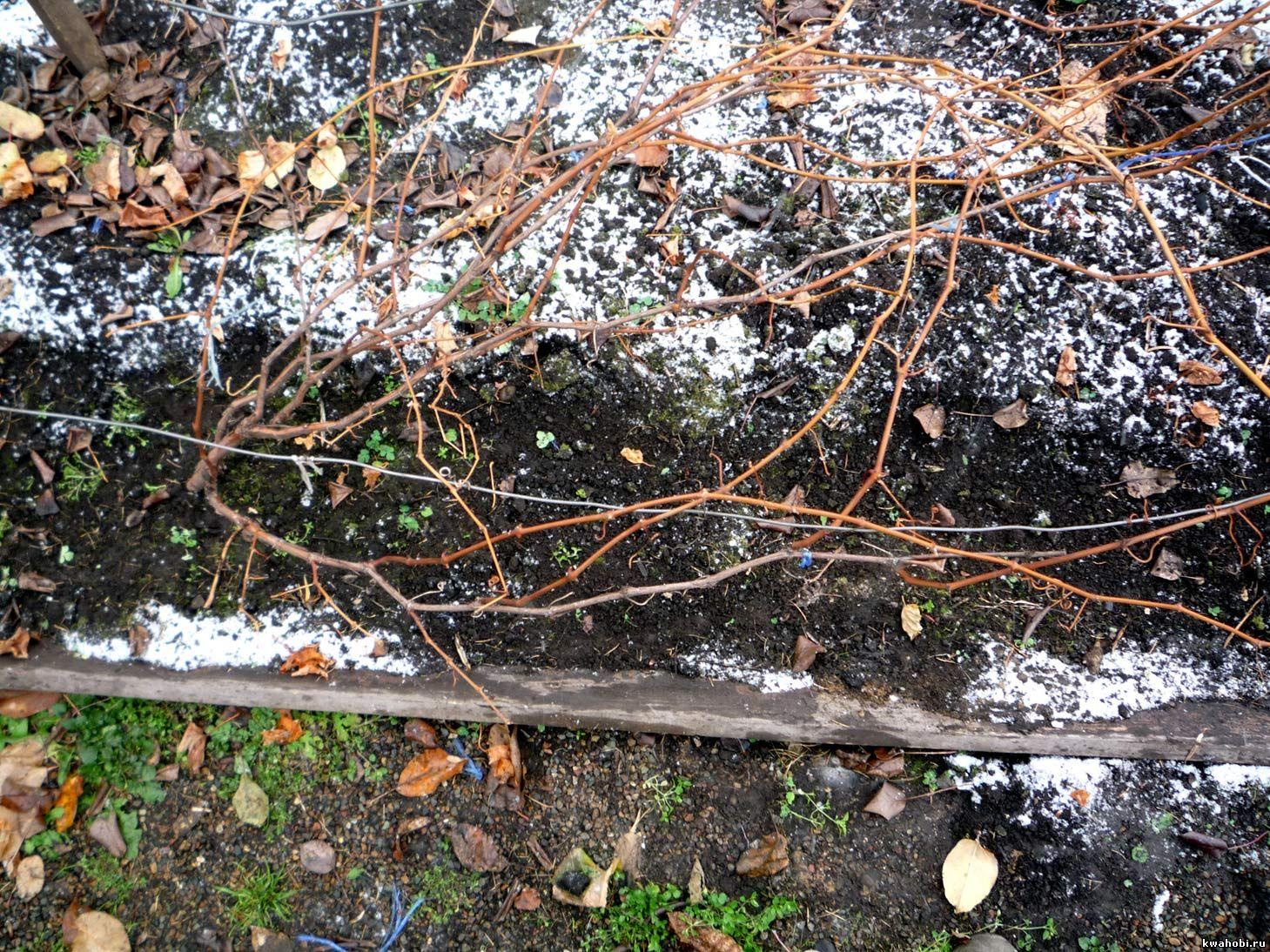 Виноградный куст.Листья сброшены.