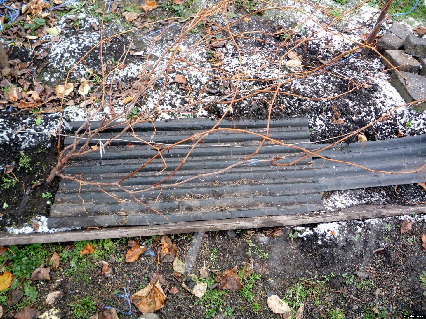 как укрыть на зиму виноград фото