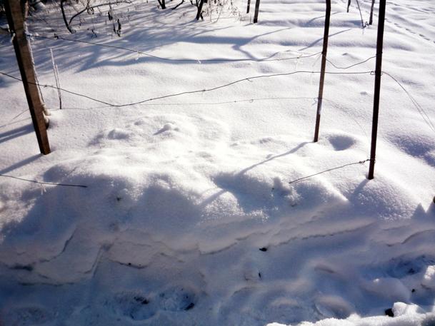 Снегом куст винограда укрылся сам.